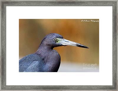 Portait Of A Little Blue Heron Framed Print