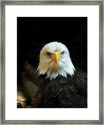 Framed Print featuring the photograph Portrait American Bald Eagle by Randall Branham