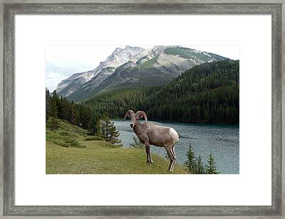 Portrait Of A Bighorn Sheep At Lake Minnewanka  Framed Print
