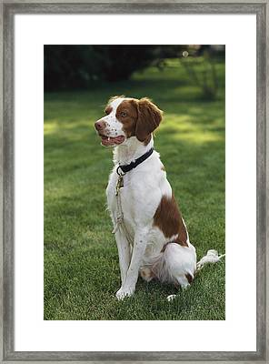 Portrait Of A Brittany Spaniel Framed Print by Paul Damien