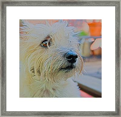 Portrait Of A Cairn Terrier Framed Print