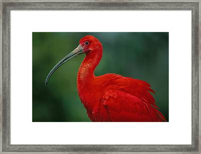 Portrait Of A Captive Scarlet Ibis Framed Print
