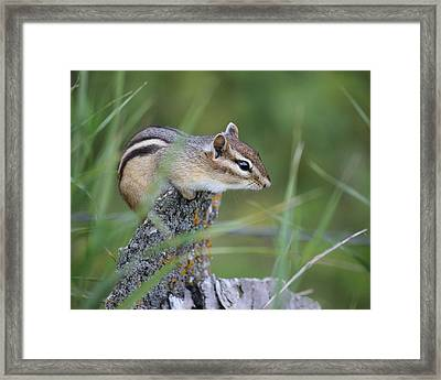 Framed Print featuring the photograph Portrait Of A Chipmunk by Penny Meyers
