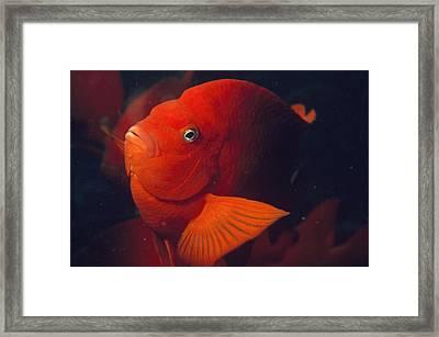 Portrait Of A Garibaldi Fish Framed Print by Bates Littlehales