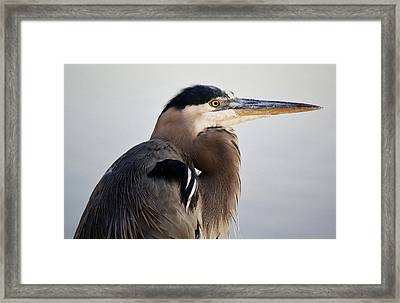 Portrait Of A Great Blue Heron Framed Print by Paulette Thomas