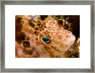 Portrait Of A Hawkfish Cirrhitichthys Framed Print by Tim Laman