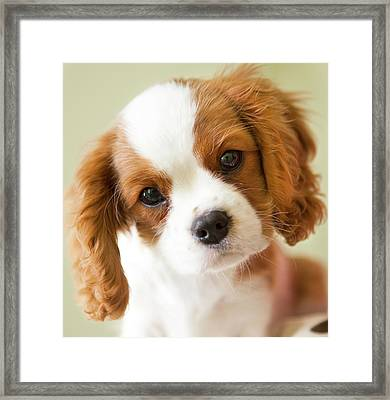 Portrait Of A King Charles Spaniel Puppy. Framed Print by Marcy Maloy