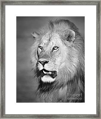 Portrait Of A Lion Framed Print by Richard Garvey-Williams