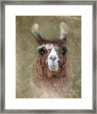 Portrait Of A Llama Framed Print by Betty LaRue