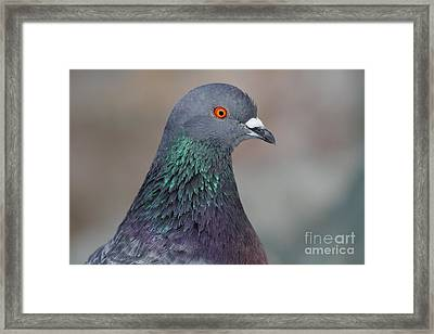 Portrait Of A Pigeon . 7d12327 Framed Print by Wingsdomain Art and Photography