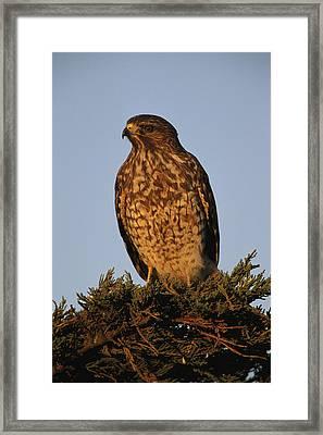 Portrait Of A Red Shouldered Hawk Framed Print by Roy Toft
