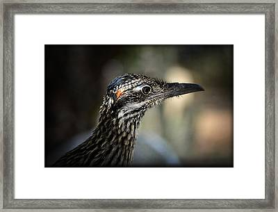 Portrait Of A Roadrunner  Framed Print by Saija  Lehtonen