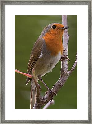 Portrait Of A Robin Framed Print