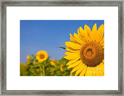 Portrait Of A Sunflower In The Field  Framed Print