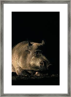 Portrait Of A Wild Boar Framed Print by Ulrich Kunst And Bettina Scheidulin