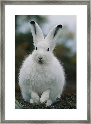 Portrait Of An Arctic Hare Framed Print by Norbert Rosing