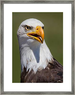 Portrait Of An Eagle Framed Print by Naman Imagery