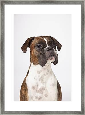 Portrait Of Boxer Dog On White Framed Print by LJM Photo