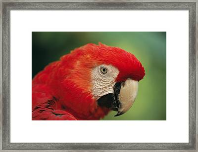 Portrait Of Captive Scarlet Macaw Framed Print by Tim Laman