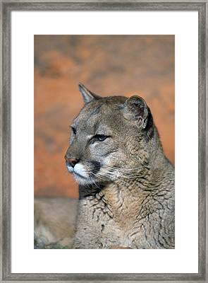 Portrait Of Mountain Lion Framed Print by Natural Selection David Ponton