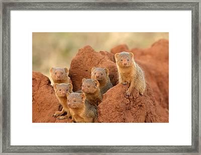 Portrait Of Seven Dwarf Mongooses Framed Print by Roy Toft