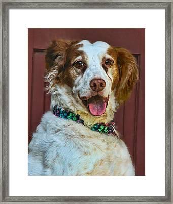 Portrait Of Springer Spaniel Dog Framed Print