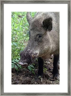 Porttrait Of A Wild Hog Framed Print by Ulrich Kunst And Bettina Scheidulin