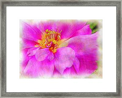 Portulaca With Texture Framed Print by Judi Bagwell