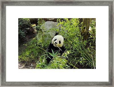 Posing Panda Framed Print by John  Greaves