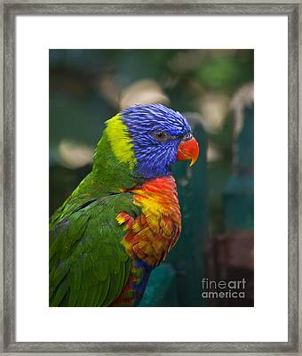 Posing Rainbow Lorikeet. Framed Print