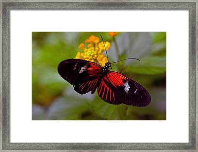 Postman Butterfly Framed Print by Cheryl Cencich