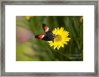 Postman Butterfly On Yellow Straw Flower Framed Print