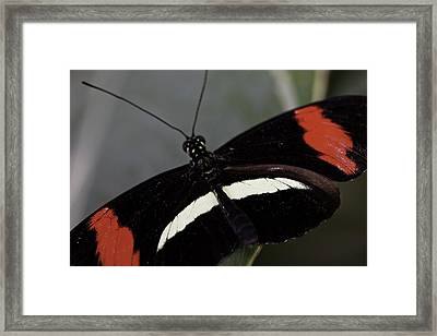 Postman Butterfly Framed Print