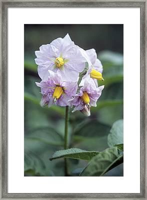 Potato (solanum Tuberosum 'charlotte') Framed Print by Maxine Adcock