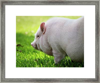 Potbelly Pig Framed Print by Christopher Jenkins  c/o www.luckyshotphotos.com