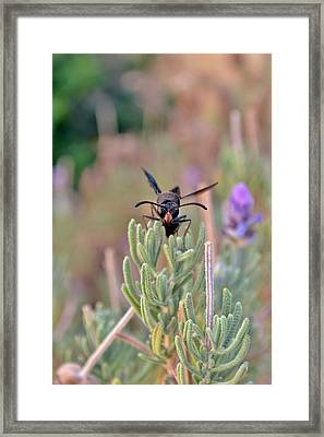 Framed Print featuring the photograph Potter Wasp by Werner Lehmann