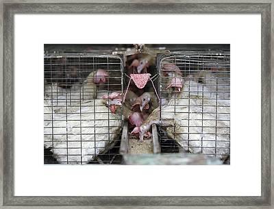 Poultry Farm Framed Print