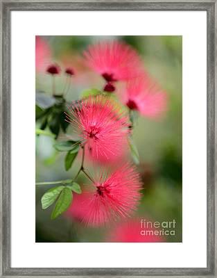 Powder Puff Flowers Framed Print by Sabrina L Ryan