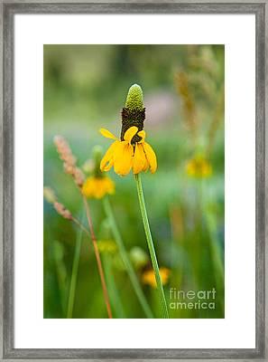 Prairie Coneflower Framed Print