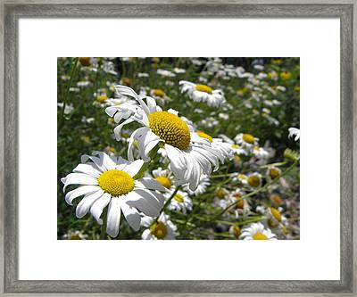 Prairie Daisies 2 Framed Print by Griffin Harris