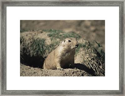 Prairie Dog Framed Print by David Aubrey