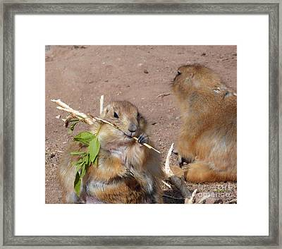 Prairie Dogs Framed Print by Methune Hively