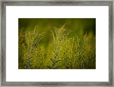 Prairie Goldenrod Framed Print