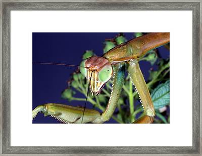 Praying Mantis Framed Print