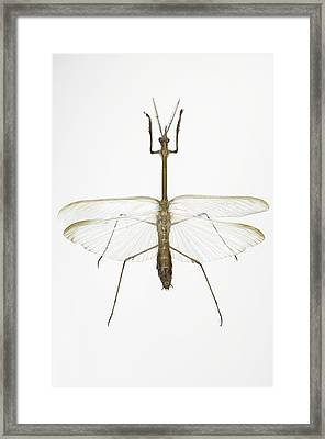 Praying Mantis Framed Print by Lawrence Lawry