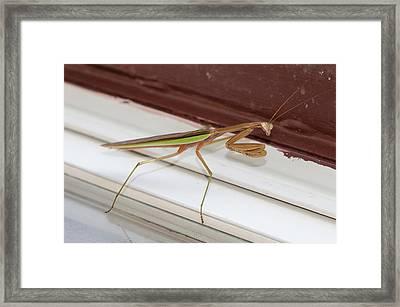 Praying Mantis Framed Print by Shirley Tinkham
