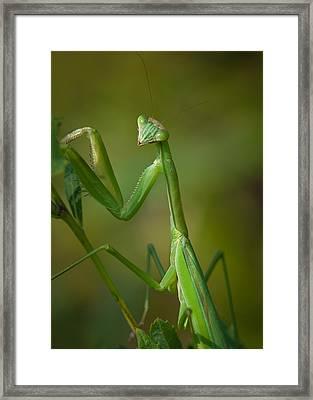 Praying Mantis Framed Print by Steve Zimic