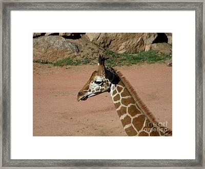 Precious Baby Giraffe Framed Print by Donna Parlow