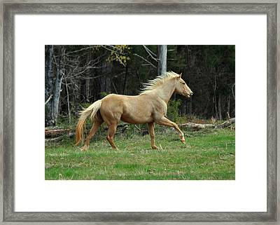 Precious The Palomino Running  - C0519c Framed Print by Paul Lyndon Phillips