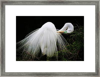 Preening Egret Framed Print by Paulette Thomas